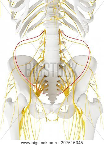 3d rendered medically accurate illustration of the iliohypogastric Nerve