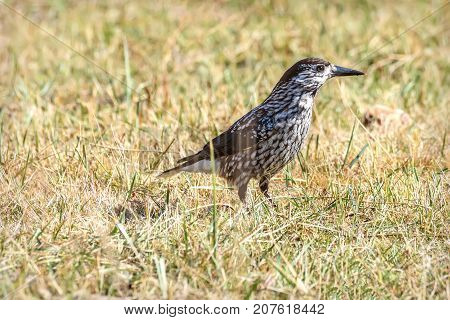 Bird nutcracker (Nucifraga caryocatactes ) close up sitting on grass in autumn