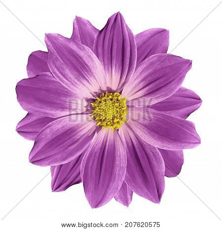 Pink flower daisy on a white isolated background with clipping path. Closeup. Nature.