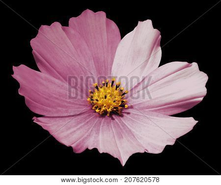 Pink flower daisy black isolated background with clipping path. No shadows. Closeup. Nature.