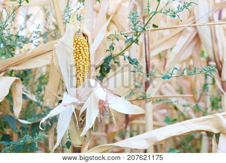 organic farming - corn crops on the stalk growing in the field