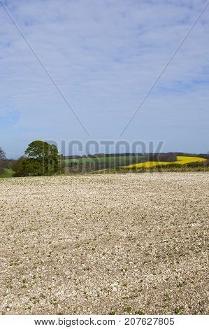Chalky Soil And Oilseed Rape