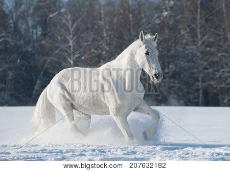 white orlov trotter in the snowy winter