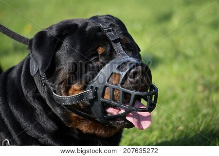 portrait of a large dog rottweiler male adult muzzled in close-up shot