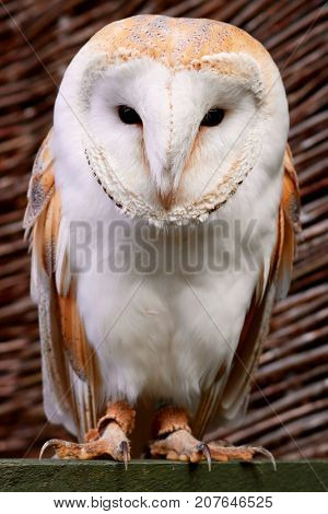 Barn Owl on Perch Full Body With Brown Background