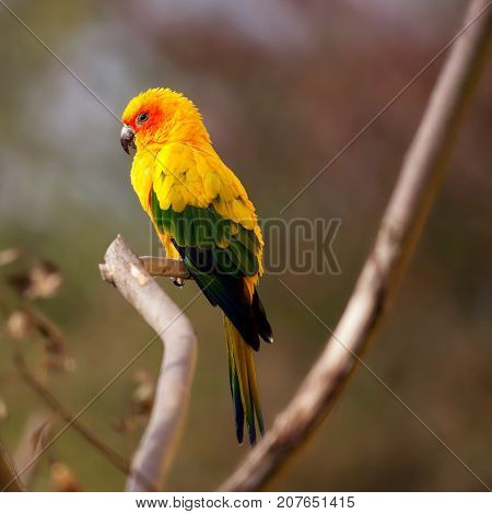Beautiful bright yellow Sun Conure bird sitting on a branch with a blurred background and space for text.