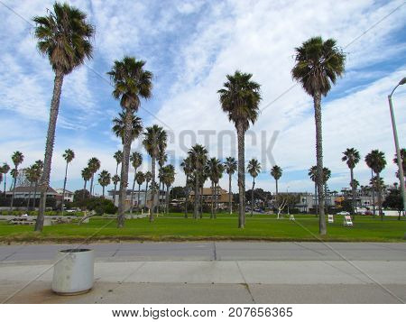 Palm trees on Venice beach on ocean front walk grass California USA