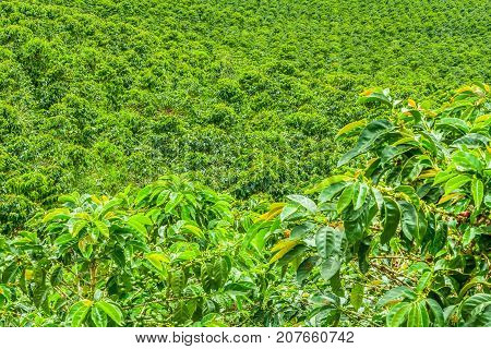 Coffee Plantation In Jerico, Colombia