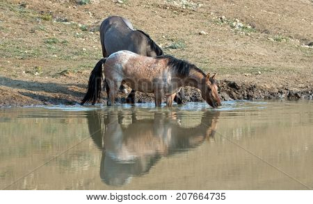 Wild Horses - Bay Red Roan and Grulla mares drinking at the waterhole in the Pryor Mountains Wild Horse Range on the state borders of Montana and Wyoming United States