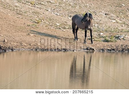 Gray Grulla wild horse stallion reflecting at the waterhole in the Pryor Mountains Wild Horse Range on the Wyoming Montana state border - United States