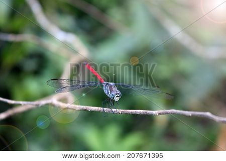 Red blue dragonfly on the branch in the gardenRain forest in Thailand.