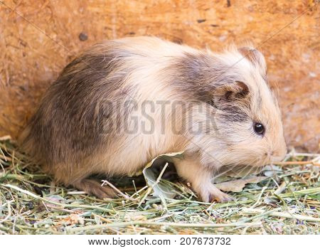 guinea pig . In the park in nature