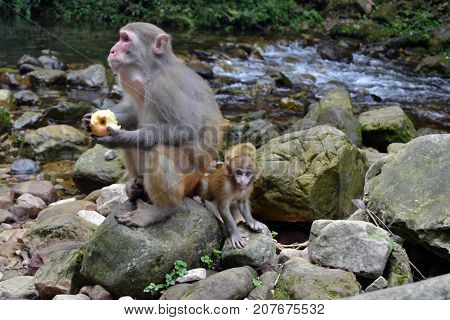 Monkey And The Infant Around The Hiking Trail In Wulingyuan Scenic Area. Greenies Everywhere And Riv