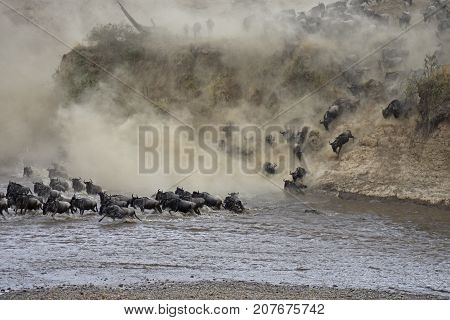 Migration of wildebeest crossing the Mara River in Africa.