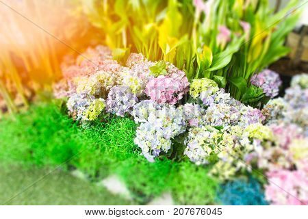 Image of hydrangea coral in the garden