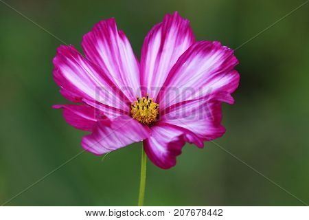 Cosmos Bipinnatus flowers in deep red-wine with white stripes
