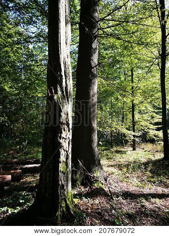 Two old trees in shady deciduous stan in fall, Bialowieza Forest, Poland, Europe