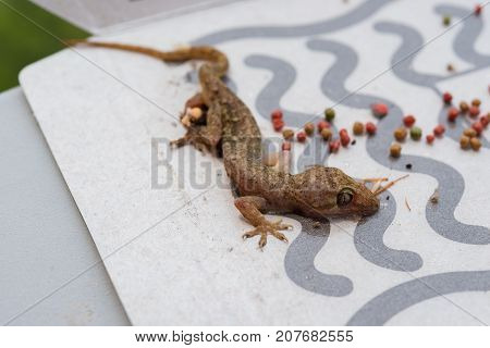 gecko being caught by a paper sticker