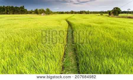 Green Rice Plant Field In Thai Farmland.
