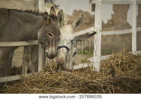 The Meal Of Three Donkeys