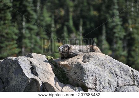 Sunbathing Hoary marmot in Mount Rainier National Park, Seattle
