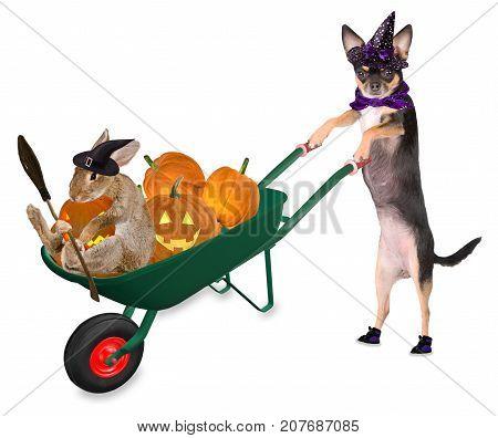 Cute halloween dog chihuahua with cute bunny drive with wheelbarrow with pumpkins and creepy pumpkin isolated