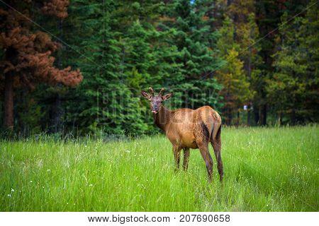 Young male Elk or Wapiti in Banff National Park, Alberta, Canada