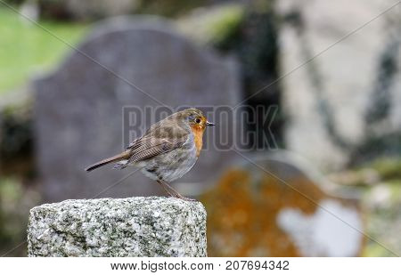 The European robin (Erithacus rubecula) known simply as the robin or robin redbreast perched on a gravestone in a cemetery poster