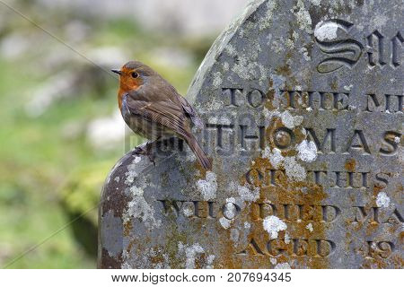 The European robin (Erithacus rubecula) known simply as the robin or robin redbreast perching on a gravestone