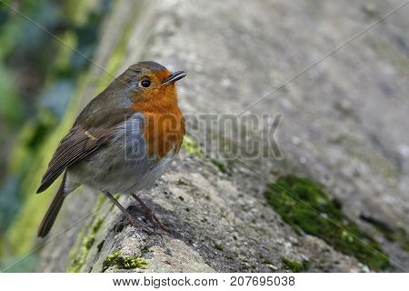 The European robin (Erithacus rubecula) known simply as the robin or robin redbreast perched on a wall