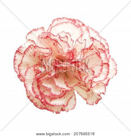 Carnation Flower Isolated