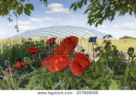 Llanarthney, Wales, UK: June 05, 2014: National Botanical Garden of Wales. Poppies growing in the gardens of the botanical gardens.