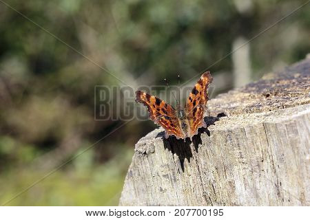 Polygonia c-album, the Comma, is a species of butterfly belonging to the family Nymphalidae.