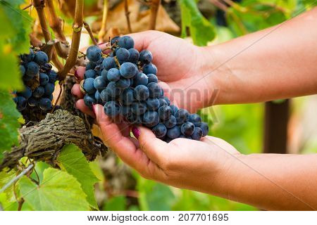 Ripe Red Wine Grape Ready To Harvest