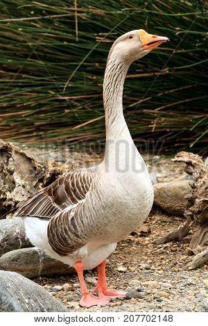 Closeup shot of big adult goose