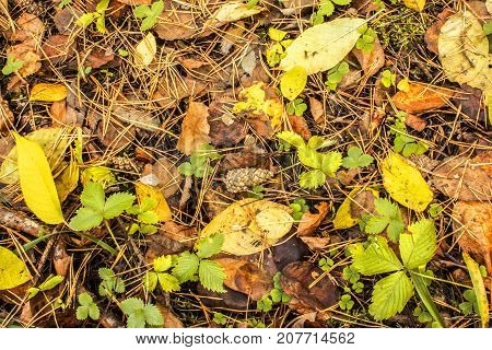 Lump Lies On The Ground Covered With Autumn Fallen Leaves In An Autumn Forest