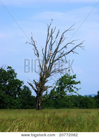 Dry Death Tree With A Crow Living In Its Branches