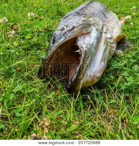 A large northern pike laying in the grass with his mouth open showing large sharp teeth.