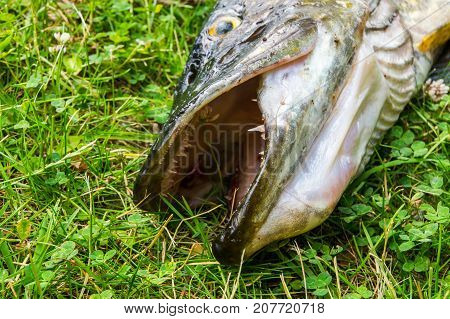 Northern Pike In The Grass
