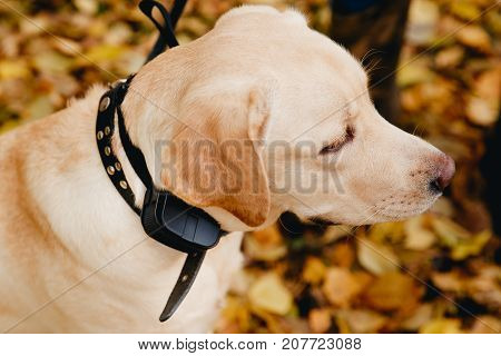 Dog with Electric shock collar on outdoor.