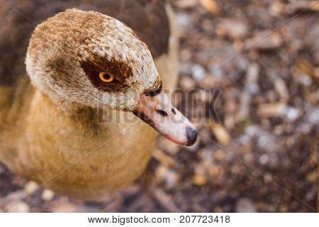 portrait of a wild duck near she looks at the camera with her bright orange eye