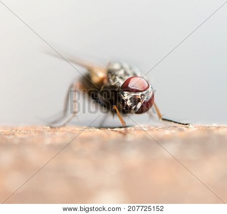 Blow fly, carrion fly, bluebottles, greenbottles, or cluster fly