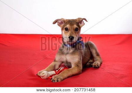 puppies bite a bone.cute white puppy biting a bone isolate in Studio on red background.