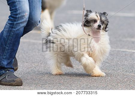 Chinese Crested dog runs along the ring next to the owner. The dog is small, active, elegant, very cheerful and has a strong attachment to its owner. Close-up. Concept: cute, home, friend, love, affection, kindness, care. Space under the text. 2018 year o