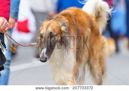 Russian Greyhound the dog goes on a leash next to the owner group of breeds of hunting trap dogs. Space under the text. 2018 year of the dog in the eastern calendar Concept: friend, protection, loyalty, vigilance, security