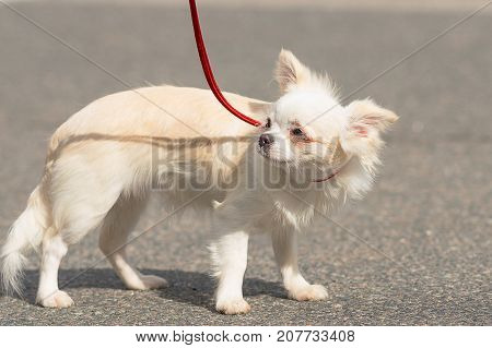 Chihuahua little white dog shrank in fright Close-up. Space under the text. 2018 year of the dog in the eastern calendar Concept: parodist dogs, dog friend of man, true friends, rescuers.