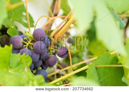Fresh And Ripe Bunches Of Red Wine Grapes Growing In Garden. Close Up View.