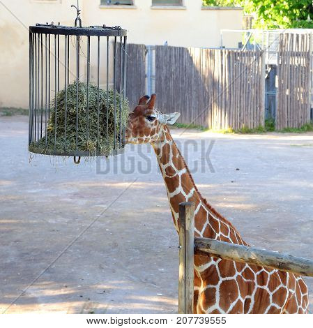 Giraffe eating at the Bioparco of Rome