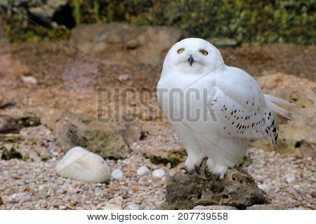 Snow owl in Bioparco at Rome - Italy