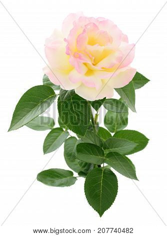 One beautiful pink rose on a white background.